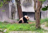 Beautiful Giant Panda Chengdu