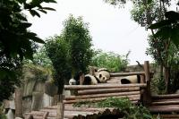 Giant Panda at Chengdu Research Base