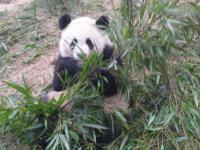 Giant Panda's Food in Chengdu Research Base