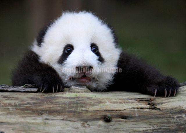 Giant Panda Beautiful and Lovely