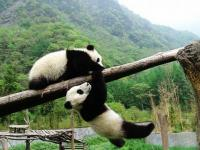 Lovely Giant Panda Chengdu