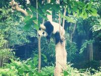 Giant Panda is on Tree Chengdu