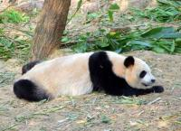 Giant Panda Spleeping Chengdu