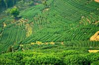 Shifeng Longjing Tea Plantation