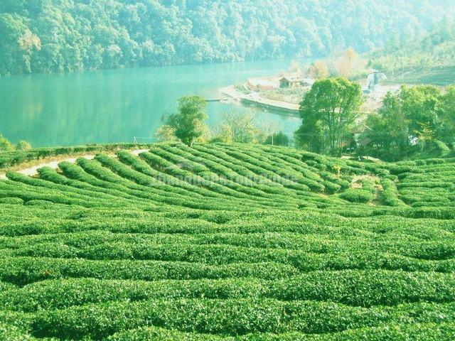 Beautiful Tea Plantation Landscape stock photo 182059009 | iStock